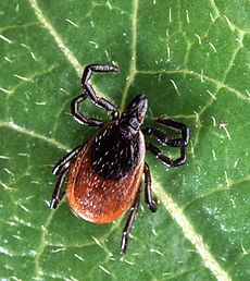Ticks spread lyme disease